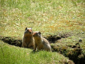 Columbian Ground Squirrels, Banff National Park, Canada, 2010, taken by Martha Wiggins