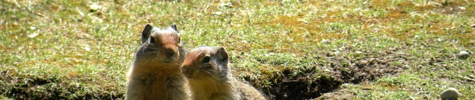 Columbian Ground Squirrels, Banff National Park, Canada, 2010, taken by Martha Wiggins